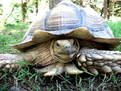 image gallery spurred tortoise