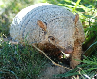 an analysis of the armadillo Technical analysis of in the waiting room literary devices and the technique of elizabeth bishop bishop, in turn dedicated her poem the armadillo to him.